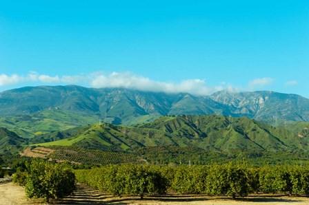 Orange Tree Grove, Santa Paula, Ventura County, California by Panoramic Images art print