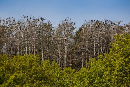 Flock of Cormorant Birds, Lithuania by Panoramic Images art print
