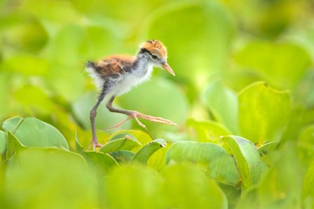 Northern Jacana Chick, Pantanal Wetlands, Brazil by Panoramic Images art print