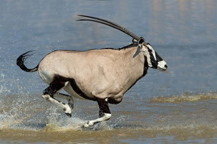 Gemsbok, Etosha National Park, Namibia by Panoramic Images art print