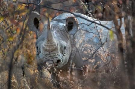 Black Rhinoceros, Etosha National Park, Namibia by Panoramic Images art print