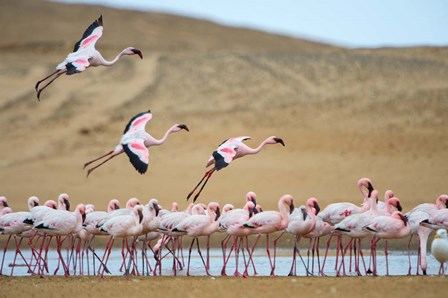 Greater Flamingos, Namibia by Panoramic Images art print
