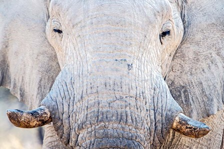 African Elephant, Etosha National Park, Namibia by Panoramic Images art print