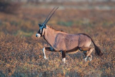 Gemsbok, Etosha National Park, Namibia by Panoramic Images art print