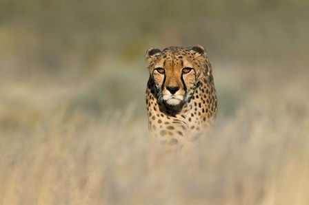 Cheetah, Etosha National Park, Namibia by Panoramic Images art print