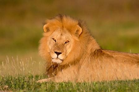 African Lion, Ndutu, Ngorongoro Conservation Area, Tanzania by Panoramic Images art print