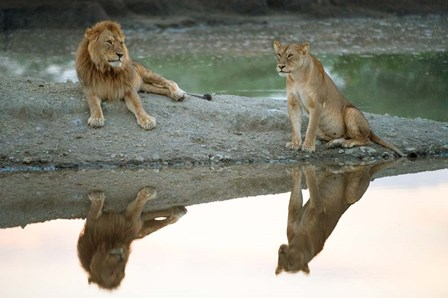 African Lion and Lioness, Ngorongoro Conservation Area, Tanzania by Panoramic Images art print