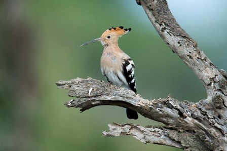 African Hoopoe, Ndutu, Ngorongoro Conservation Area, Tanzania by Panoramic Images art print
