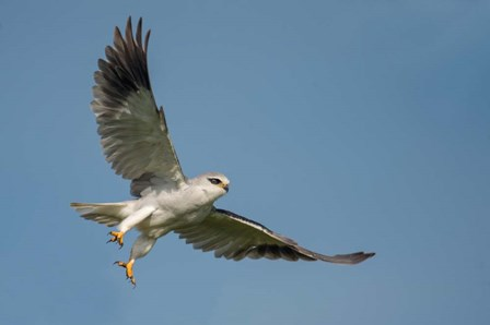 Black-Shouldered Kite, Ngorongoro Conservation Area, Tanzania by Panoramic Images art print