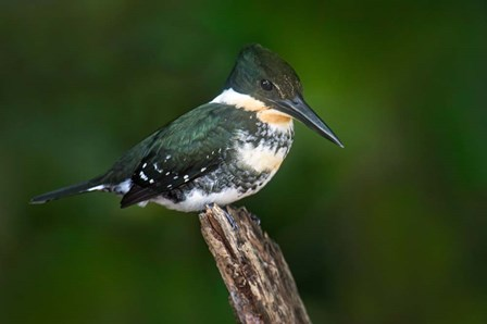 Green Kingfisher, Tortuguero, Costa Rica by Panoramic Images art print