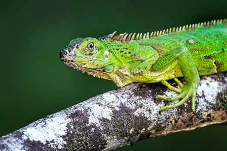 Green Iguana, Tarcoles River, Costa Rica by Panoramic Images art print