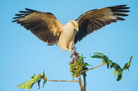 Yellow-Headed Caracara, Pacific Coast, Costa Rica by Panoramic Images art print