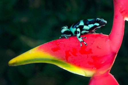 Green and Black Poison Dart Frog, Sarapiqui, Costa Rica by Panoramic Images art print