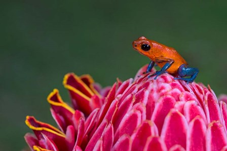 Strawberry Poison-Dart Frog, Sarapiqui, Costa Rica by Panoramic Images art print
