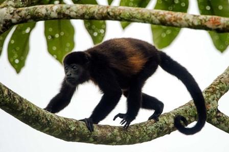 Black Howler Monkey, Sarapiqui, Costa Rica by Panoramic Images art print