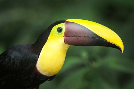 Keel-Billed Toucan, Sarapiqui, Costa Rica by Panoramic Images art print