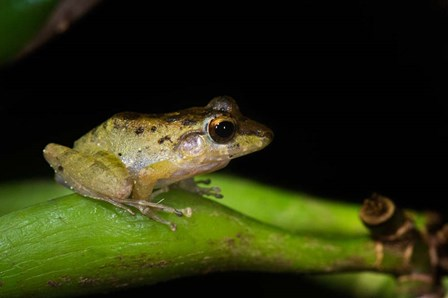 Tink Frog, Tortuguero, Costa Rica by Panoramic Images art print