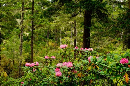 Pacific Rhododendron Flowers by Panoramic Images art print