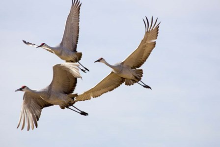 Sandhill Cranes In Flight by Panoramic Images art print