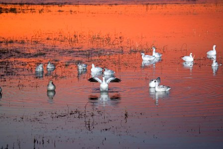 Snow Geese On Water by Panoramic Images art print