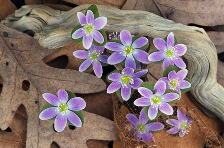 Hepatica Flowers, Michigan by Panoramic Images art print