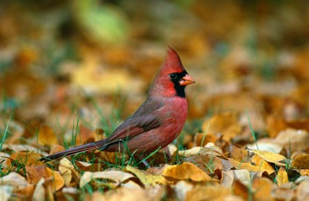 Male Cardinal by Panoramic Images art print