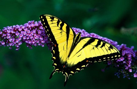 Tiger Swallowtail Butterfly by Panoramic Images art print