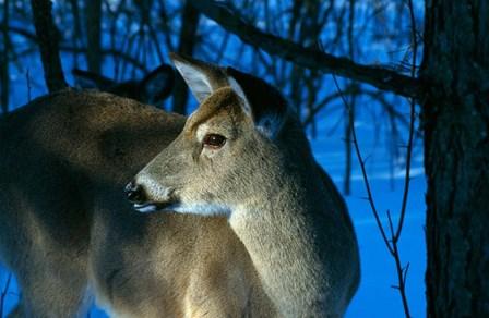 Deer Doe in Snowy Woods by Panoramic Images art print