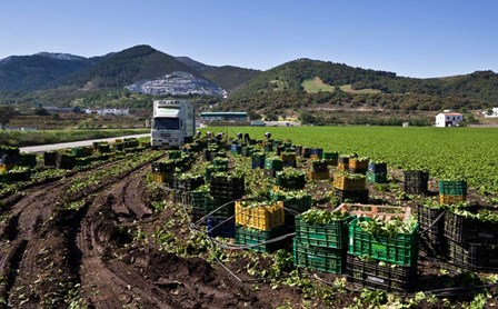 Harvesting Lettuce near Ventas de Zafarraya, Spain by Panoramic Images art print