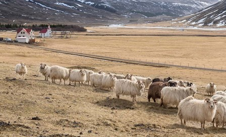 Flock of Sheep, Iceland by Panoramic Images art print
