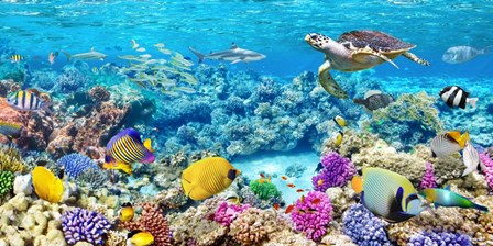 Sea Turtle and fish, Maldivian Coral Reef by Pangea Images art print